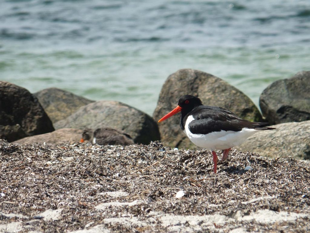 Ein Austernfischer läuft am Strand und im Hintergrund ist ein Junges zu sehen.