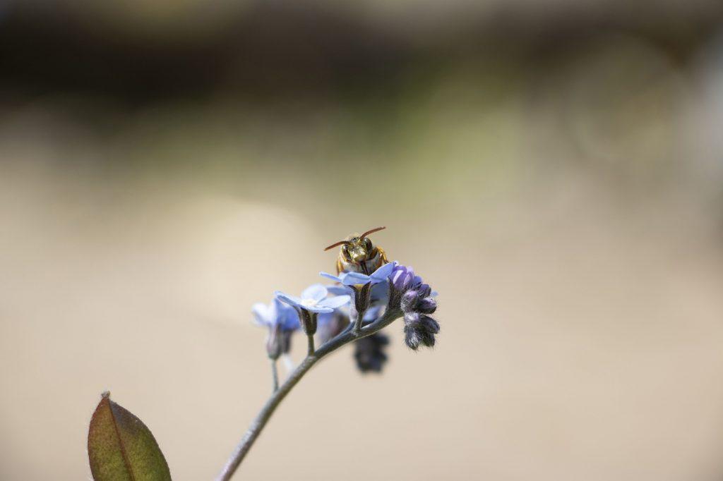 Das Foto zeigt eine Wespe, die sich auf einem Vergissmeinnicht ausruht und dabei in die Kamera blickt.